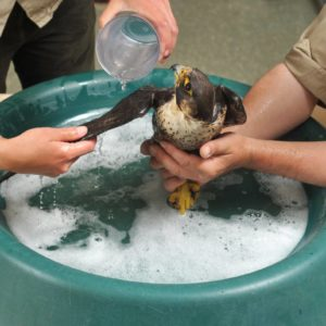 A Peregrine Falcon found with its feathers stuck together and flown to an animal rescue centre in its own private jet has now been jetted back to the island and set free. The female bird - named Florence by rescuers - was flown 110 miles to the Hawk Conservancy Trust on her own chartered flight after being found by the side of a road on the Island of Guernsey. Florence, who is thought to be three years old, was covered in an oily, glue-like substance and was unable to fly.  She was initially taken to the Guernsey Society for the Prevention of Cruelty to Animals, who had hoped to release it back into the wild.  Pic: Zachary Culpin/Solentnews.biz © Solent News & Photo Agency