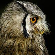 owls-by-moonlight-roger-byrne-july16