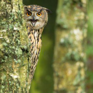 Eurasian Eagle Owl (by Oliver Smart)