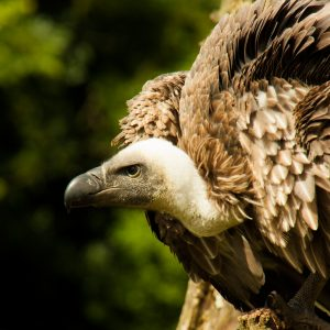 African White-backed Vulture, Cassius
