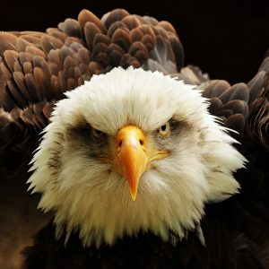 Bald Eagle, Imber