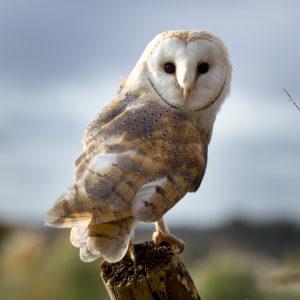 Barn Owl, Charlie
