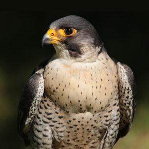 Peregrine Falcon, Raj