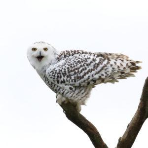 Snowy Owl, Sweeney Todd