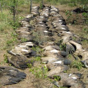 White-backed vultures poisoned at an elephant carcass. Photo courtesy of Gonarezhou Transfrontier Park