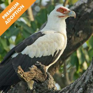 Male Palm Nut Vulture (premium)